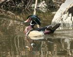 Drake_Wood_Duck_on_the_water.jpg