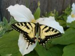 butterflies_and_flowers_005.jpg