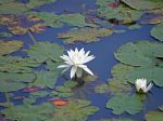WaterLily_1366.JPG